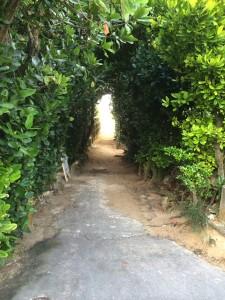 沖縄備瀬崎のフクギ並木