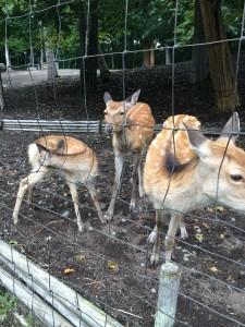 北海道安平町鹿公園の鹿の群れ