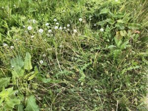 ホーマックの除草剤の効果