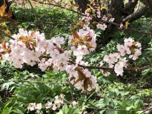 プライベートキャンプ場に桜の木